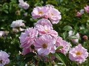 たくさんのピンクの薔薇写真