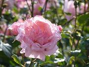 かわいいピンクの薔薇写真