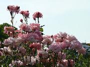 たくさんのピンクの薔薇と澄んだ水色の空写真