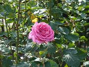 きれいなピンクの薔薇写真