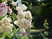 たくさんの白い薔薇写真