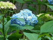 青いアジサイフリー素材