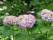 紫色のアジサイフリー素材