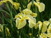 黄色の花菖蒲「金冠」フリー素材