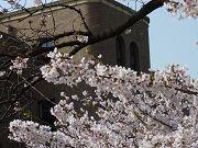 桜の花と茶色の建物フリー素材