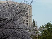 桜の木と建物フリー素材