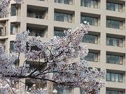 桜の花とベージュの建物フリー素材