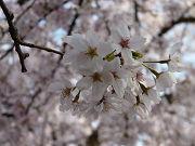 きれいな桜の花写真