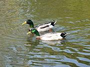 2匹の鴨(カモ)写真