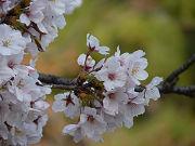 かわいい桜の花写真