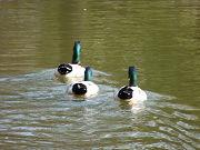 3匹の鴨(カモ)の後ろ姿写真