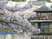 桜の花と池と建物フリー素材