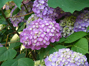 紫色の紫陽花フリー素材